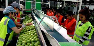 empacadores de frutas y verduras confezionatrici di frutta e verdura fruit and vegetable packers operarias de empaque