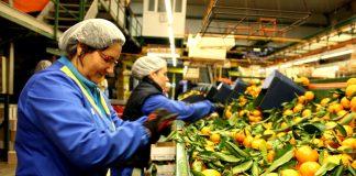trabajadores para empacado y clasificacion de naranjas operarios para linea de produccion workers for packing and sorting oranges workers for production line