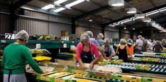 Fruit Packers empacadores de frutas female and male staff warehouse packers empacadores para bodega de frutas