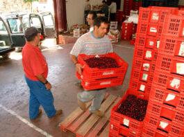 recolectores de cerezas y conductores de montacarga cherry pickers and forklift drivers