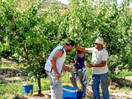 peon de campo recoleccion de frutas recolectores agricolas field peon fruit picking agricultural pickers