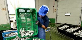 empacador para fabrica de pescado packers for fish factory