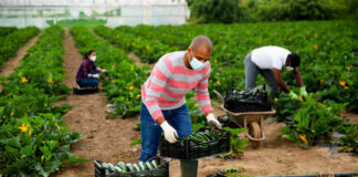 recolector de frutas fruit pickers